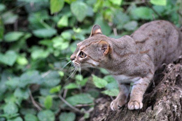 Окрас ржавой кошки