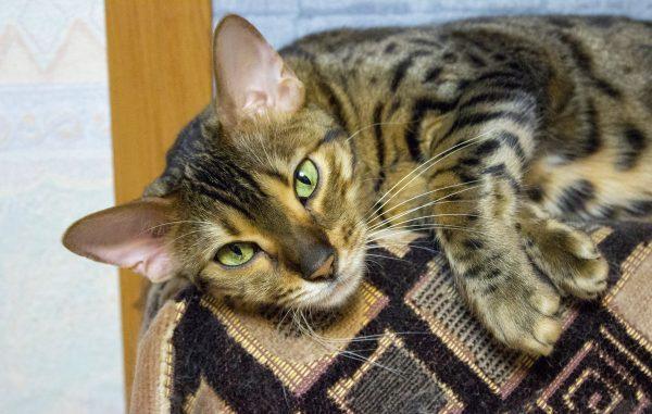 пятнисто-полосатая кошка с зелёными глазами лежит на гобеленовом покрывале
