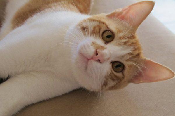 аравийский кот рыже-белого окраса лежит на боку