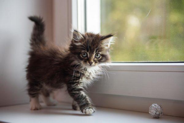 котёнок с большим животом стоит на подоконнике