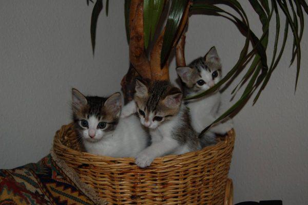 котята аравийского мау в соломенной корзине