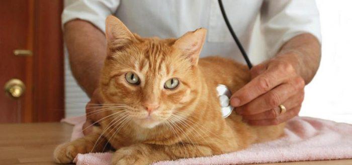Панкреатит у кошки