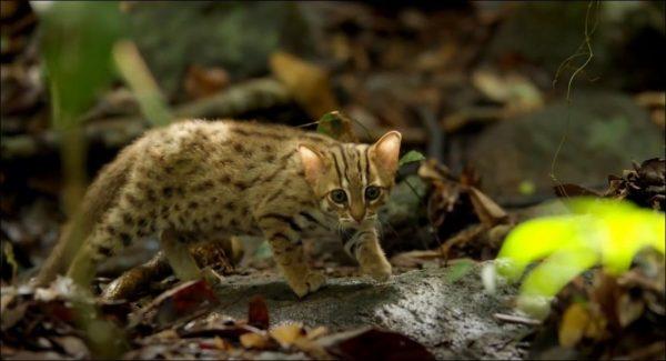 Подросший котёнок ржавой кошки