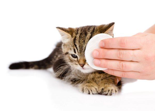 полосатому котёнку протирают глаз