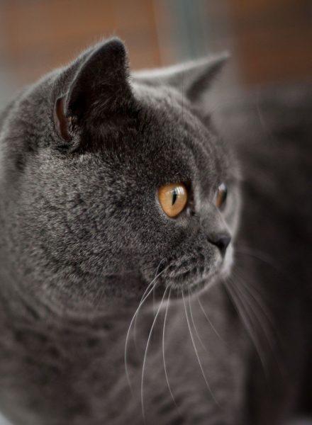 Профиль британской кошки