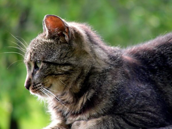 профиль серой зеленоглазой кошки