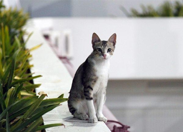 серая аравийская кошка с белым животом сидит на бордюре