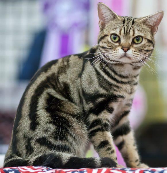 Котёнок американской короткошёрстной породы
