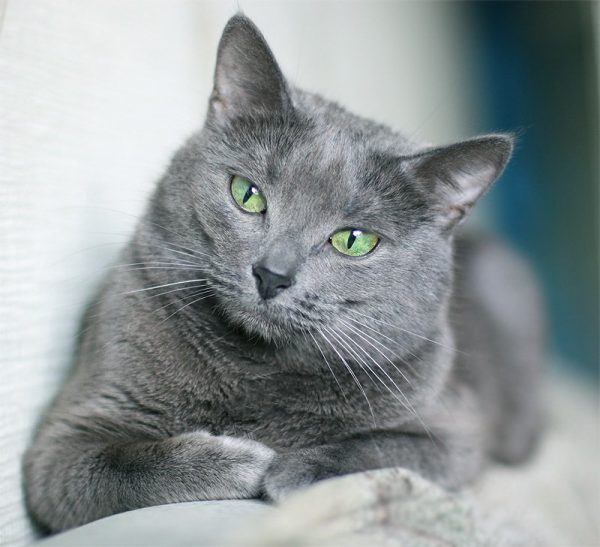 русская голубая кошка на одеяле