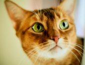 рыжая кошка с зелёными глазами