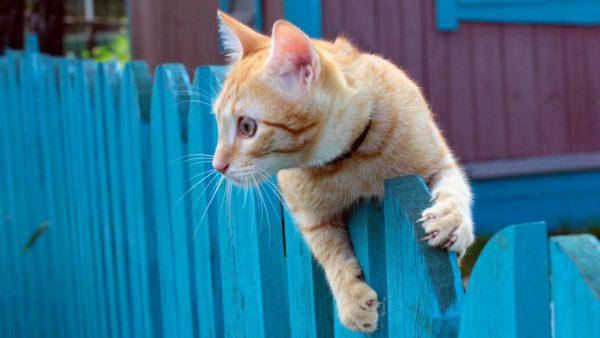 рыжий кот на синем заборе