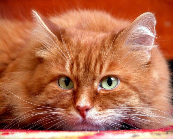 рыжий кот с грустными зелёными глазами