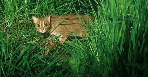Ржавая кошка в траве