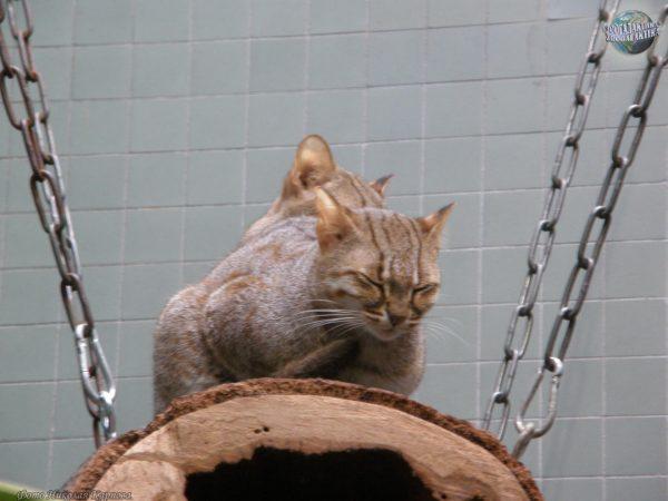 Ржавые кошки в неволе