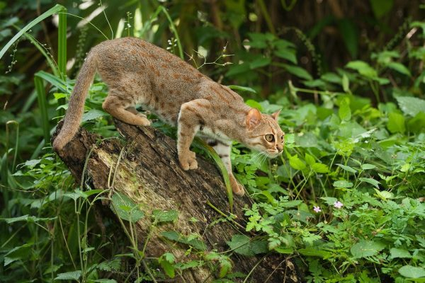 Ржавый кот на охоте
