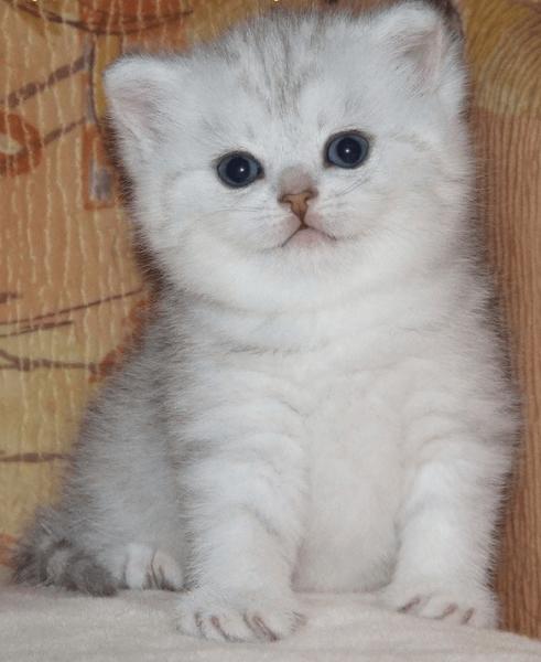 Серебристый котёнок шиншиллы