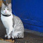 серо-белая аравийская кошка