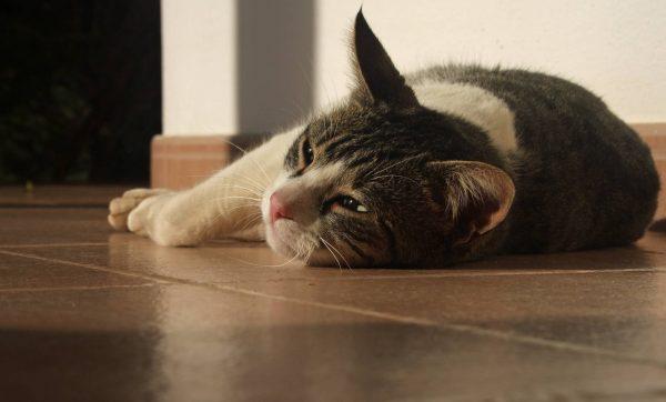 Серо-белая кошка лежит на полу