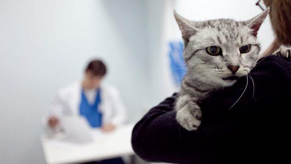 серый кот на плече хозяина