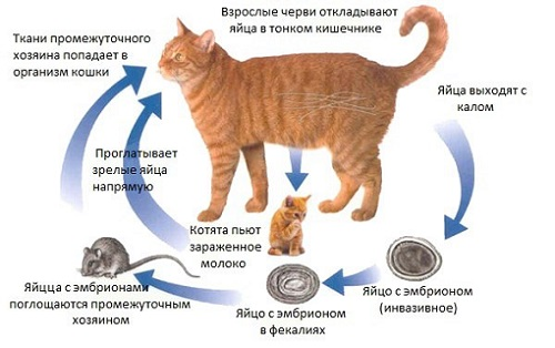Схема заражения животного глистами