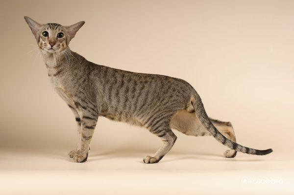 полосатая ориентальная кошка