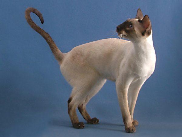 кошка сиамо-ориентальной группы