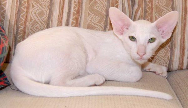 белая ориентальная кошка