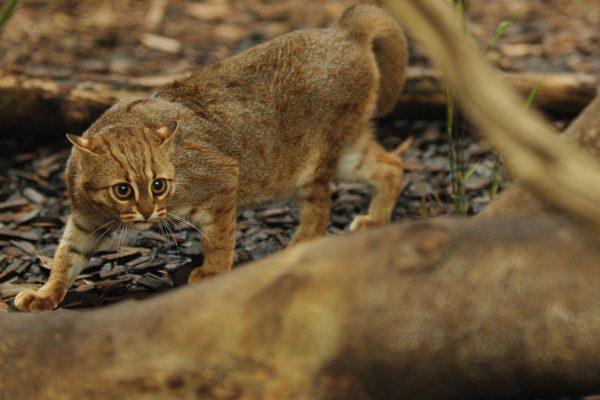 Скрытная пятнисто-рыжая кошка