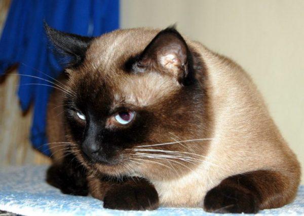 Старый тайский кот