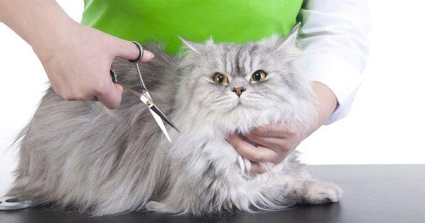 Стрижка длинношёрстной британской кошки