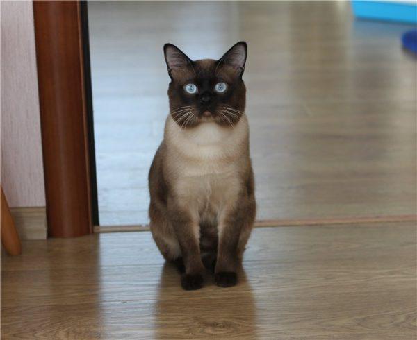 Строгая тайская кошка