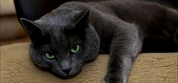 русская голубая кошка тёмного оттенка