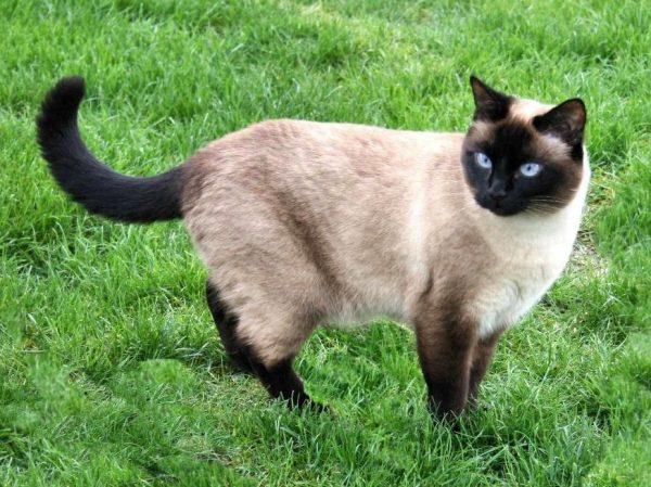 тайская кошка в траве