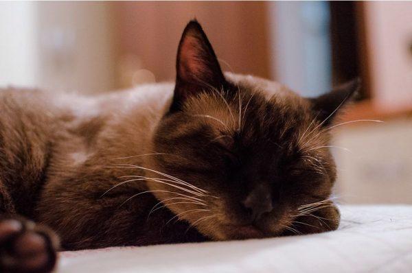 тайская кошка спит
