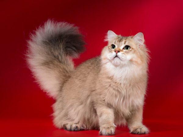 Телосложение британской длинношёрстной кошки