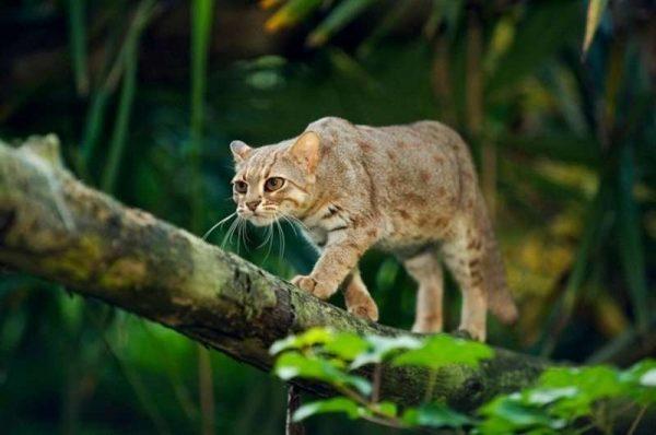 Телосложение ржавой кошки