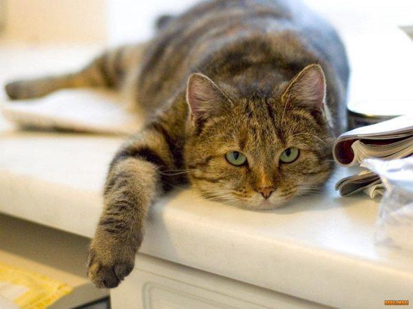 толстая кошка лежит на подоконнике