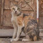 трёхцветная аравийская кошка