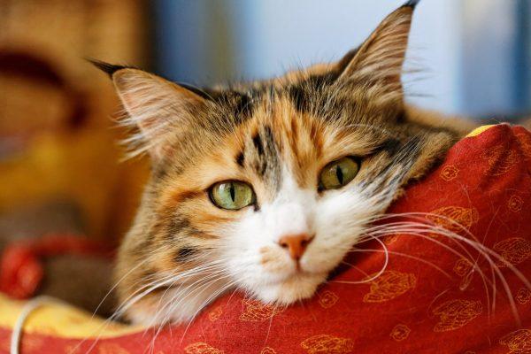 трёхцветная кошка на красной подушке