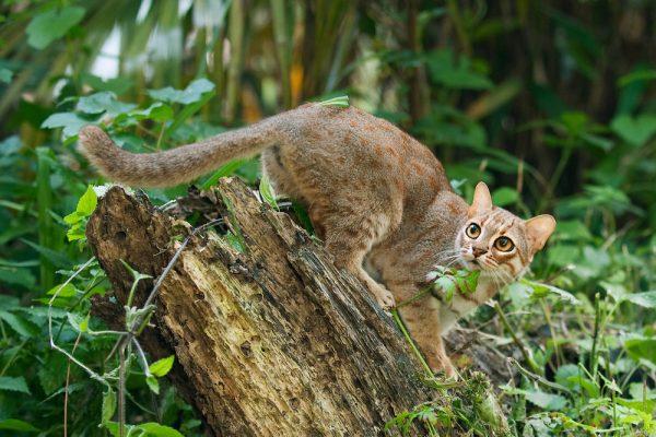 Убегающая ржавая кошка