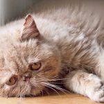 Грустный персидский кот