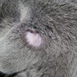 Проплешина за ухом серого кота