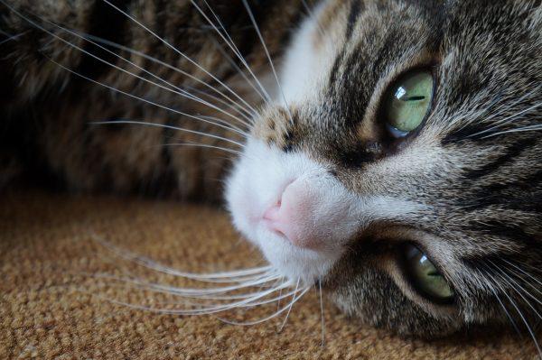 морда красивой кошки крупным планом