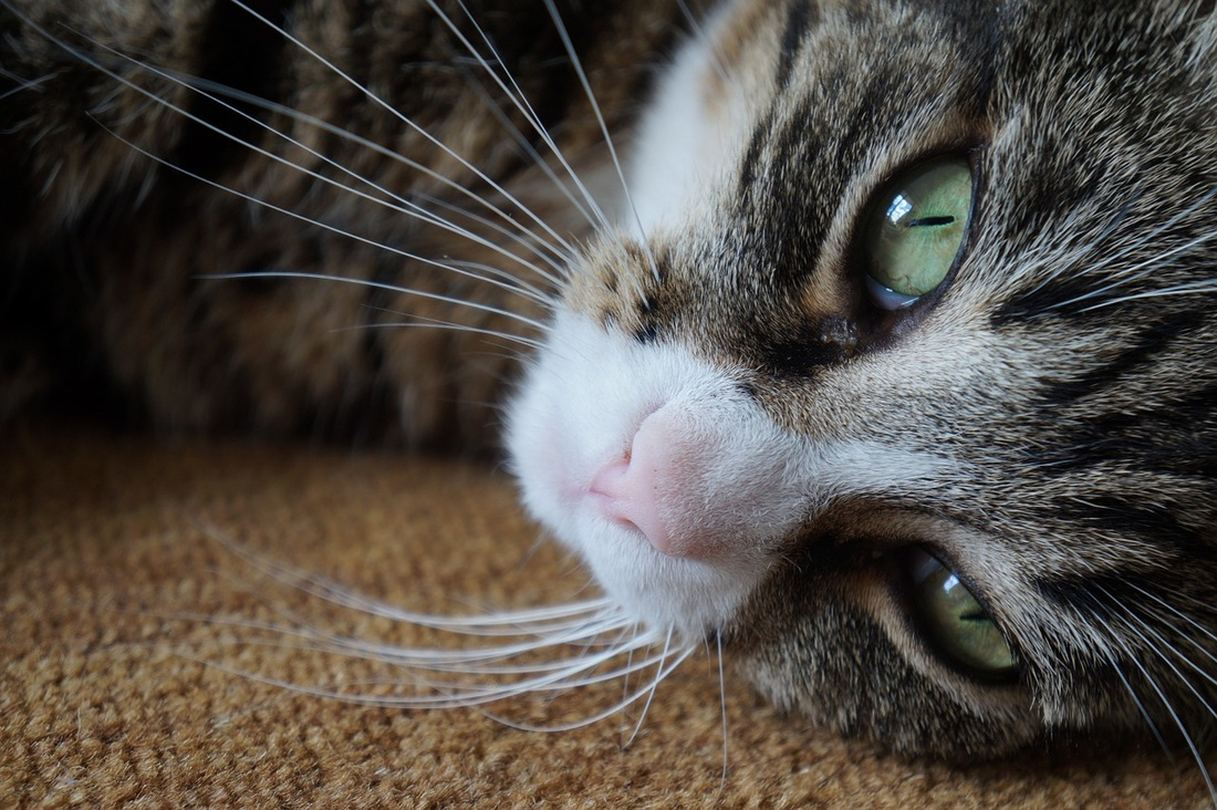 Схема лечения кошек от хламидиоза