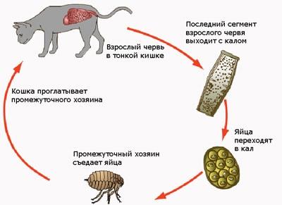 Жизненный цикл ленточного червя