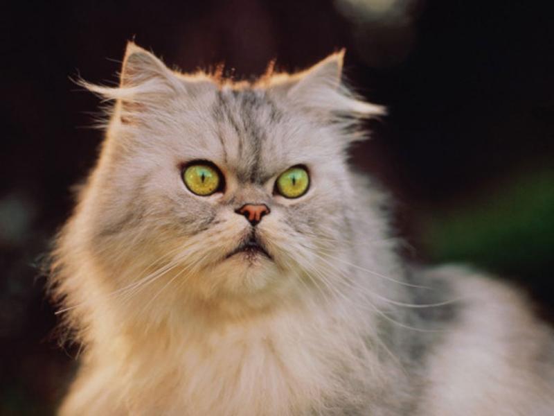 Глисты у кошек: как вывести паразитов