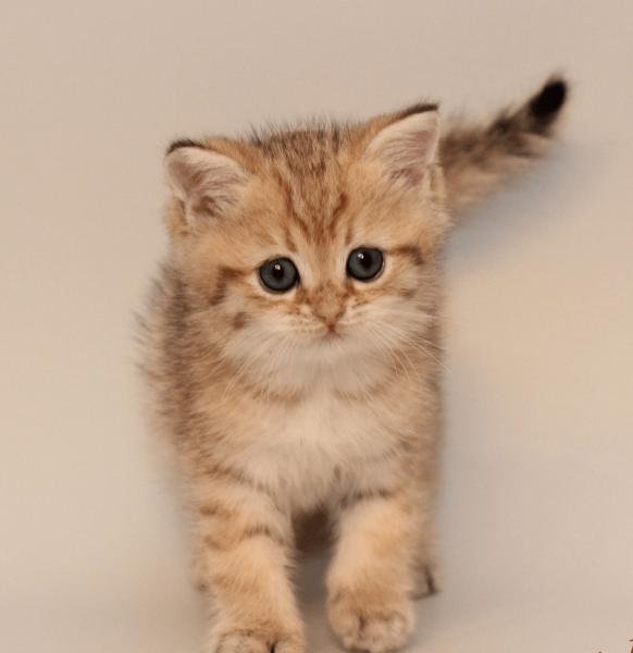 Золотистый котёнок шиншиллы