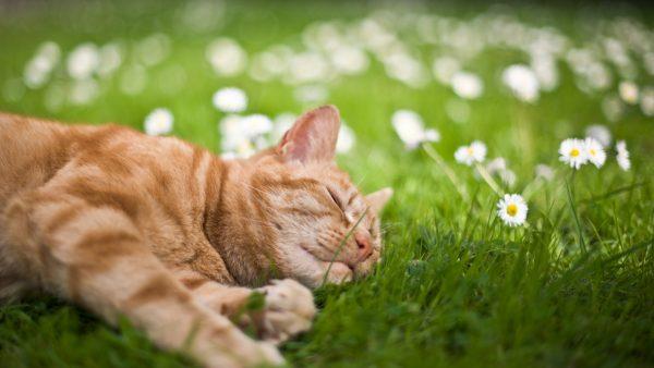 Рыжая кошка лежит в ромашках