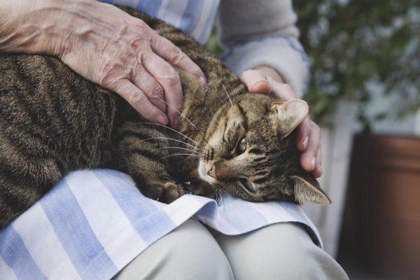 грустный серый кот на коленях хозяйки