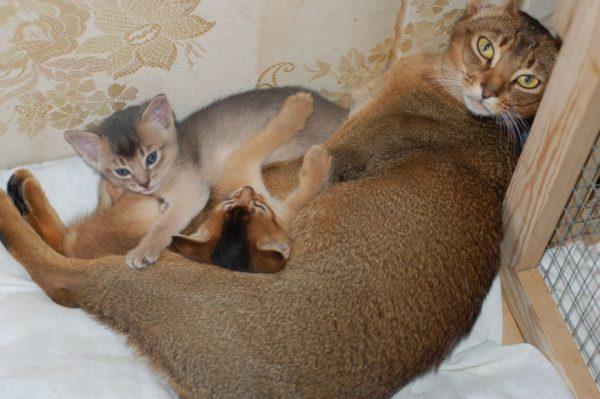 Абиссинская кошка с котятами
